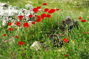 Anzac-Day-Poppies
